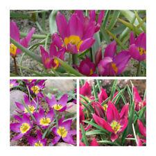 Lot 60 Eastern Star Pulchella Species Tulip x 100 Flower Bulbs Magenta Flowers.