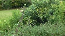 graines d'ortie dioïque sauvages