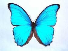 MORPHO GODARTII DIDIUS - unmounted butterfly