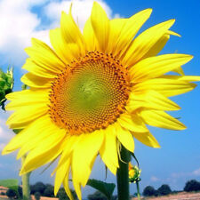 40Pcs Giant Yellow Sunflower Rare Flower Seeds Annual Seed Organic Helianthus MO