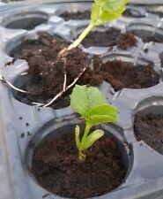20 Momordica charantia, semillas de calabaza amarga
