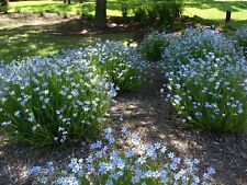 Fairy Flower Seeds  Sisyrinchium Bellum x50 Seeds - Blue Eyed Grass