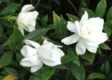 15+ White Fragrant Gardenia Flower Seeds / Outdoors  Indoor House Plant  Perenni