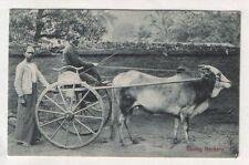 Old postcard Ceylon Racing Hackery bulls. racing   #194