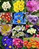 50 seeds Primrose flowers Primula malacoides pink red purple white yellow blue