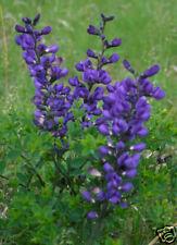 Baptisia, Blue False Indigo, Perennial 30+  seeds