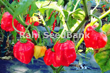 Carolina Reaper X Red Savina Habanero - One of the World's Hottest Chilli Pepper