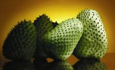 "Annona Muricata Seeds .Tropical Fruit 50 SEEDS ""prickly custard apple """