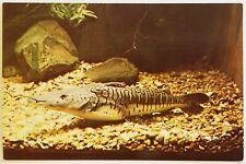Tiger Flathead Catfish Brazil Piracambucu Argentina Sorubi Postcard animal