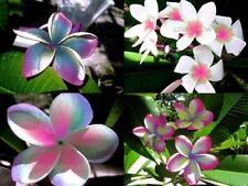 "5pcs Real Plumeria Rubra seeds Frangipani Lilavadee Flower ""Neon lights"" #P05"