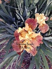 Wow Sonoran Sands Iris