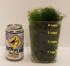 New listing 4 cups of Macro Algae Chaetomorpha Chaeto for Marine Aquarium Refugium