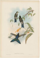 Gould Hummingbirds antique h/c lithograph w/gold leaf Pl 185 Stanleys Thorn-bill