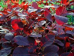 1X COTINUS ROYAL PURPLE SMOKE BUSH SHRUB - PURPLE LEAF PLANT P9