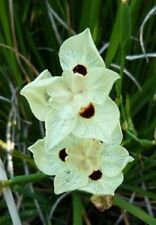 NEW! 30+  DIETES MORAEA AFRICAN IRIS  FLOWER SEEDS  /  DROUGHT AND FROST HARDY