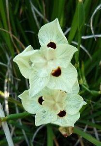 Nouveau! 30 + Dietes Moraea Africain Iris Semences Florales / Sécheresse et