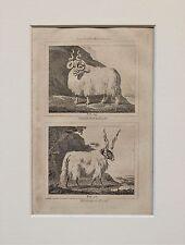 Buffon Antiguo montado impresión c.1800 - grabado-de ovejas, Ram, oveja