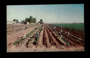 El Centro,CA California, Imperial Valley Carrot Harvest hand working carrots