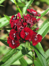 40+ DIANTHUS SCARLET BEAUTY FLOWER SEEDS, PERENNIAL, FRAGRANT HARDY/LONG LASTING