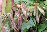 Hyacinth Bean Mena - One of the Most High-Yielding Hyacinth Bean Variety!!!