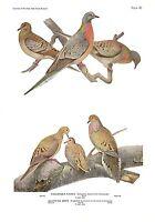 """1936 Vintage FUERTES BIRDS #42 """"PASSENGER PIGEON, DOVE"""" Color Plate Lithograph"""