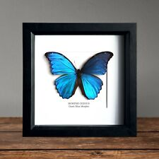 Giant Blue Morpho Morpho didius Butterfly in Box Frame Taxidermy Insect Art