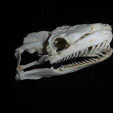 Python Skull Replica