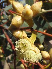 Eucalyptus kessellii ssp eugnosta (Gum Tree) in 50mm forestry tube native tree