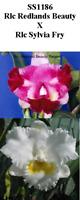 BON  Orchid Compot Rlc Redlands Beauty x Rlc Sylvia Fry SS1186