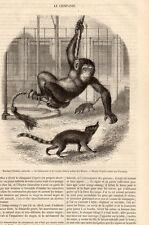 LE CHIMPANZE CHIMPANZEE PRESS ARTICLE 1855 CLIPPING