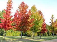 1 American Sweet Gum Tree 4-8 inches  Tall Liquidambar styraciflua