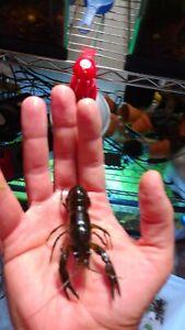 3 Live young SELF-CLONING MARMORKREB CRAYFISH CRAWFISH CRAWDAD aquarium fish