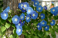 Kiepenkerl Edelwicken 788 Mélange Plante Grimpante pour Clôture ou Mur