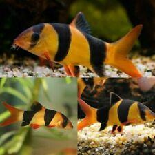 "Clown loach 2-2.5"" in length - live tropical fish"