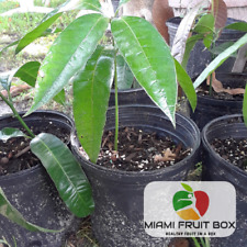 "Mango Tropical Fruit Tree Seedlings Plant Size vary 8""- 1.5' USA Seller Miami FL"