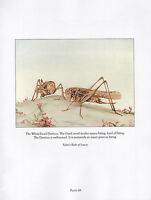 BEAUTIFUL VINTAGE BIRD PRINT WHITE-FACED DECTICUS FABRES BOOK OF INSECTS DETMOLD
