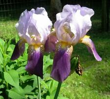 3 Bulbs of Tall Bearded Royal Stom Iris, German,Bulb, Rhizome, Plant, Perennial