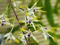 Rare orchid species Blooming plant - Dendrobium canaliculatum