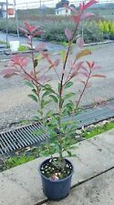 Photinia Red Robin - Fotinia vaso 8 H 10/30cm (4 piante)