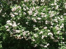 25 Old Fashion White Lilac Shrub Live Unrooted Hardy Perennial Cuttings