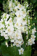 75+ Verbascum White Bride Flower Seeds / Deer Resistant Perernnial / Great Gift