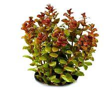 6 (six) Pots of Rotala macrandra - Amazing Aquatic Plant