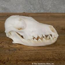 #19272 P | Arctic Fox Skull Taxidermy For Sale