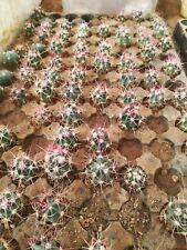 Echinocactus polycephalus lz023 3cm aztekium ariocarpus