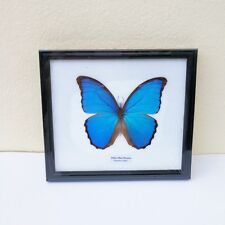 Didius Morpho Butterfly Real Blue In Framed Helena Insect Mounted Wings Decor