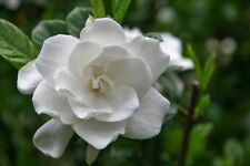 15+ WHITE GARDENIA FLOWER SEEDS / LONG LASTING PERENNIAL / GARDEN OR INDOORS