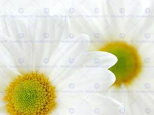 WHITE DAISIES DAISY FLOWER MACRO PHOTO ART PRINT POSTER PICTURE BMP544A