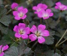 Pack x6 Hardy Geranium Orkney Cherry Pink Perennial Garden Plug Plants