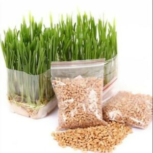 400 Pcs/Bag Cat Grass Seed Eating Garden Plant Antioxidant Pets