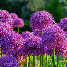 20XPurple Giant Allium Giganteum Flower Seeds Garden Plant Wholesale FHTR
